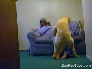 Huge labrador drills a tight hole of a masked young babe