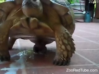 Sexy turtle cums after getting its dick touched