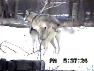 Wolves enjoying hot fucking in the snowy forest