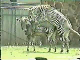 Sexy zebras featured in a hardcore zoo fuck video