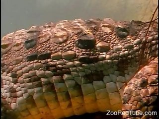 Crocodiles fucking underwater in a hot porno video