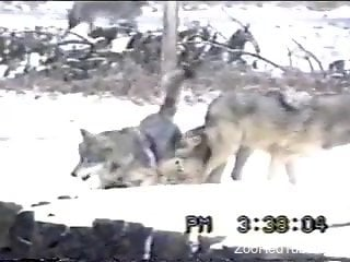 Wolfs fucking drive this horny zoo lover crazy
