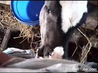 Dude's cock gets licked by a very sexy cow in POV