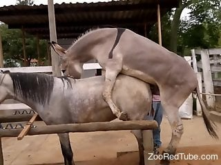Donkey drilling a mare's pussy in front of everyone